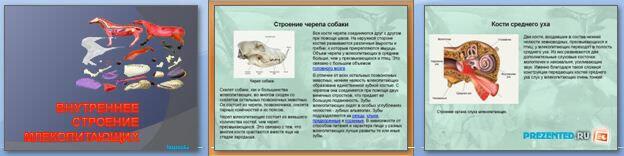 Слайды презентации: Внутреннее строение млекопитающих