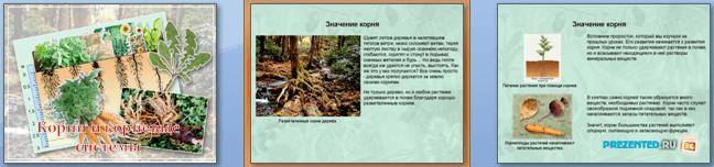 Слайды презентации: Корни и корневые системы