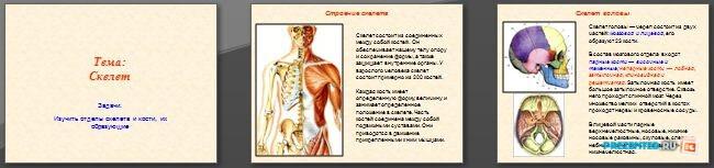 Слайды презентации: Скелет