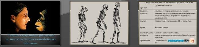 Слайды презентации: Сходство человека и человекоподобных обезьян