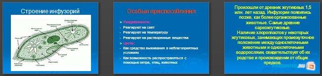 Слайды презентации: Тип инфузории
