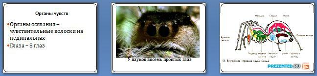 Слайды презентации: Тип Членистоногие. Класс Паукообразные