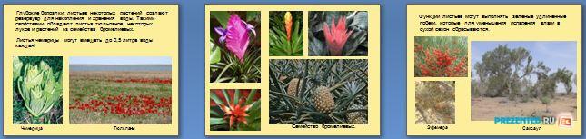 Слайды презентации: Адаптация растений к высоким температурам