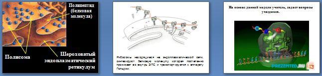 Слайды презентации: Биосинтез белков
