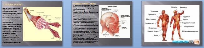 Слайды презентации: Мышцы, работа мышц