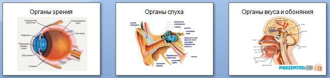 Слайды презентации: Наши органы чувств