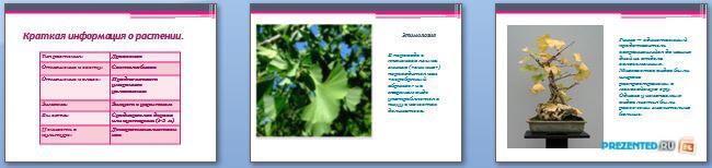 Слайды презентации: Гинкговые растения