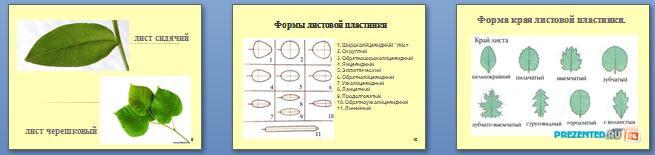 Слайды презентации: Строение листа