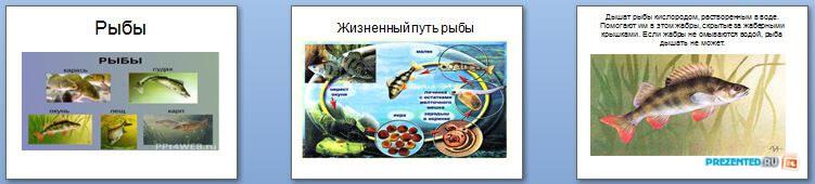Слайды презентации: Строение рыбы