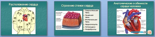 Слайды презентации: Строение сердца